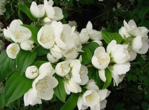 Ароматный жасмин в саду