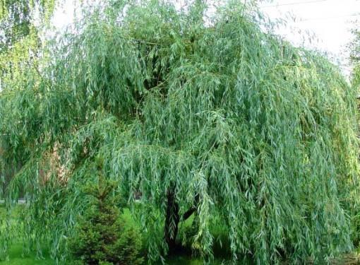 Иву можно пересаживать ранней весной, когда не ней еще нет листочков