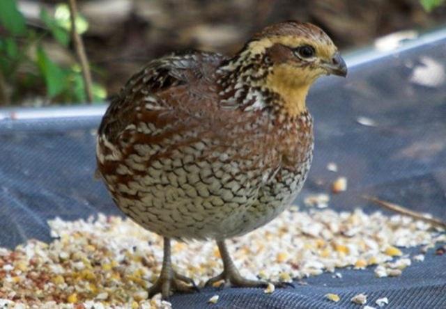 As rush quail