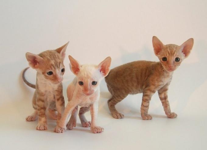 Котята корниш-рекса