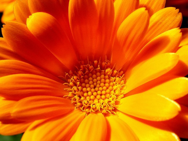 Application of calendula in home cosmetology