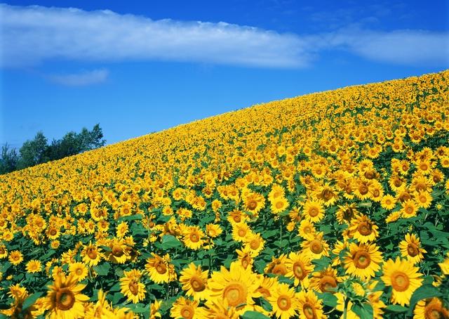 Подсолнух - цветок небесного светила