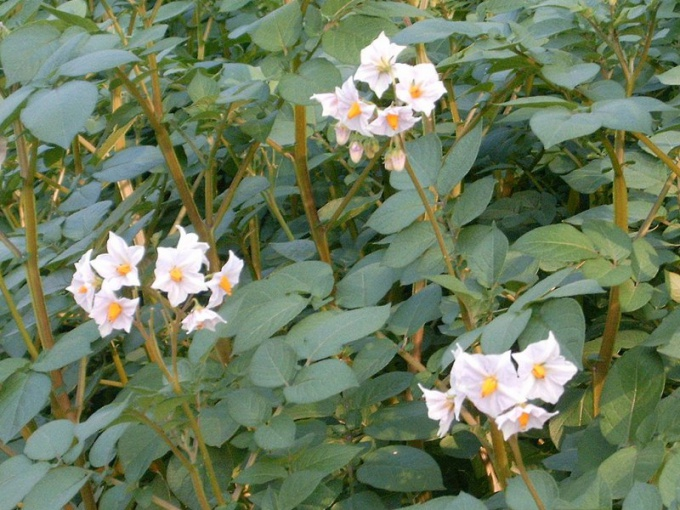 «Solanum tuberosum». Ліцензоване під Creative Commons Attribution 2.0 через Вікісховище - http://commons.wikimedia.org/wiki/File:Solanum_tuberosum.JPG#mediaviewer/%D0%A4%D0%B0%D0%B9%D0%BB:Solanum_tuberosum.JPG.