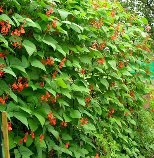 Фасоль декоративная – неприхотливое и красивое растение