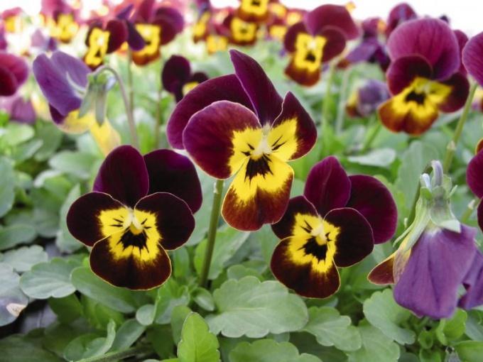 Фиалка рогатая: агротехника и применение в садовом дизайне