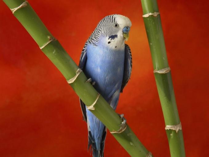 Попугаи - популярные домашние питомцы