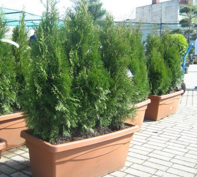 Arborvitae in pot