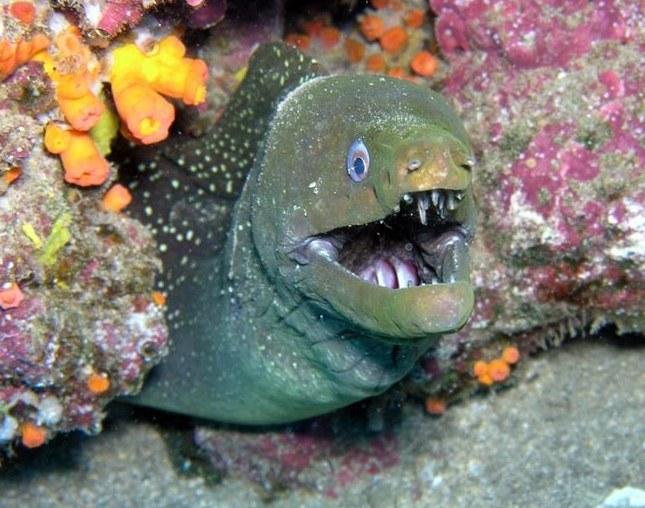 Мурена - одна из самых опасных хищных рыб в мире