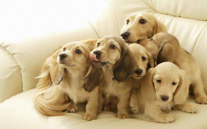 Роды у собаки проходят в несколько стадий