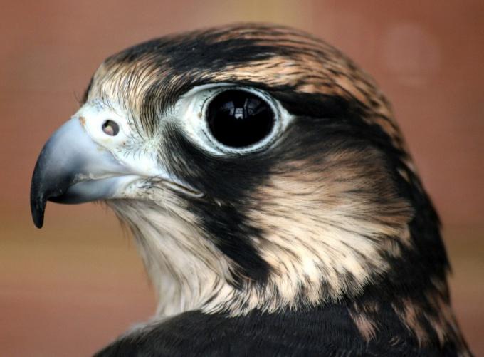 Самым острым зрением в мире обладает сокол-сапсан