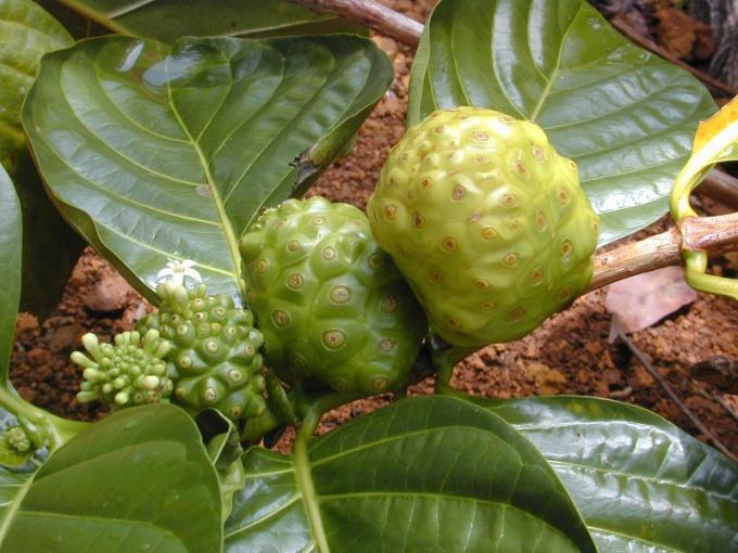 Как называется плод, растущий на Таити и позволяющий жить 100 лет
