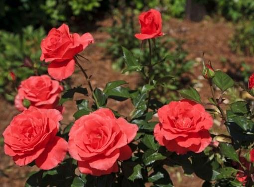 Розы от мороза нужно тщательно укрывать