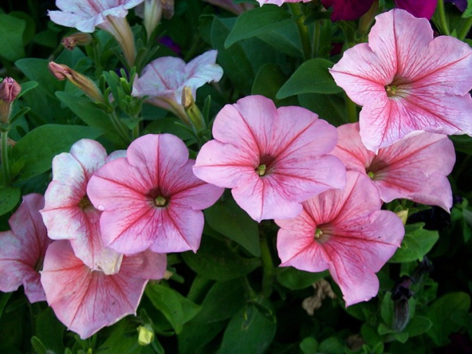 Pests and diseases of petunias
