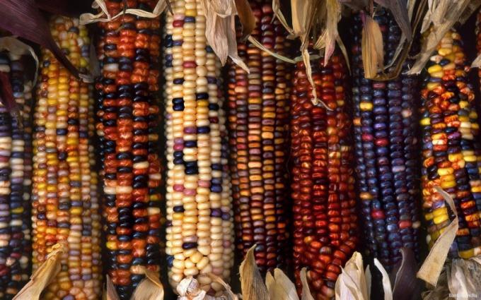 Кукуруза бывает не только желтой