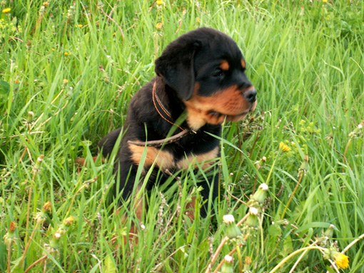 At what age can you train a Rottweiler