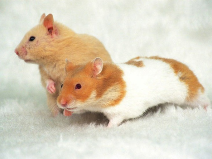 How to care for Syrian hamster