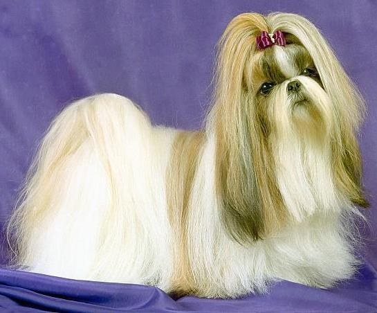 Tibetan Shih Tzu dog, which fall out of the eye