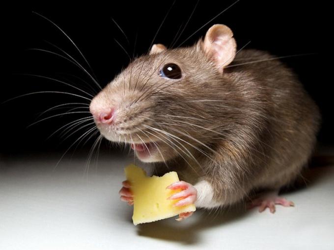 С мышами можно бороться альтернативными методами!