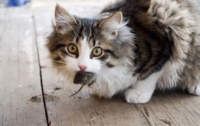 Почему коты не ловят мышей