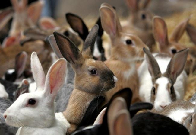 Когда нужно спаривать кроликов