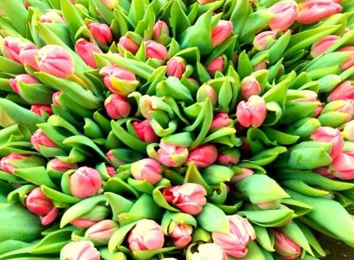 Почему листочки тюльпанов бывают поникшие и вялые
