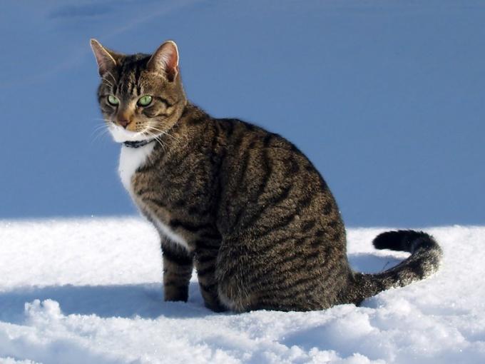 Типичный представитель европейской породы кошек