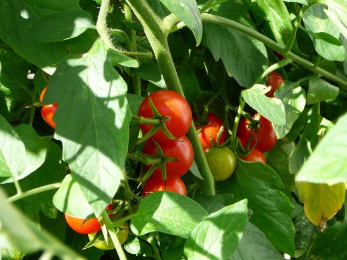 Как ускорить созревание помидоров в теплице