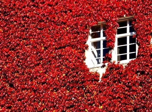 Если вы хотите озеленить стену дома с помощью вьющихся растений, создайте для них рядом со стеной независимую опору