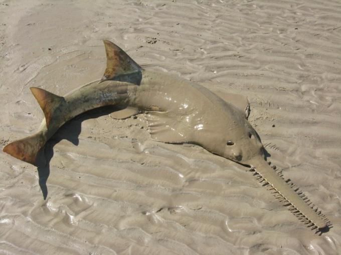 Рыбу-пилу выкинуло на берег.