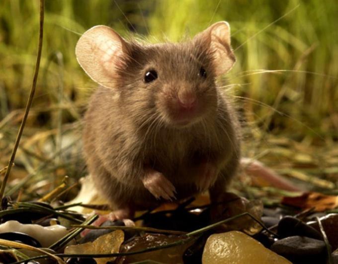 Мышь во сне - в основном неблагоприятный знак.