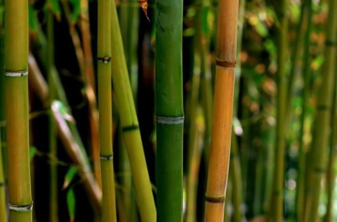 На сколько метров в высоту вырастает бамбук