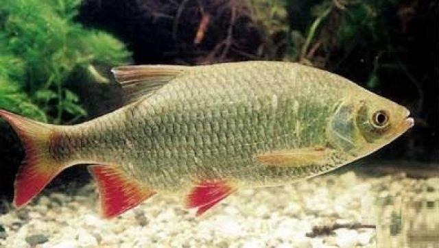 Красноглазка - рыба с очень вкусным и нежным мясом