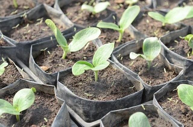 Кабачок - растение неприхотливое и легкое в уходе