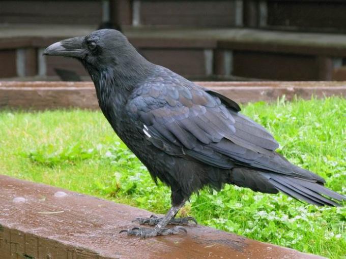 Почему лондонцы держат черных воронов в Тауэре