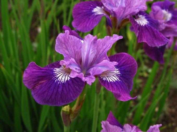 Ирис сибирский: общее описание, условия выращивания и применение