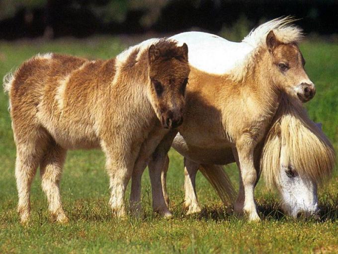 Пони на пастбище
