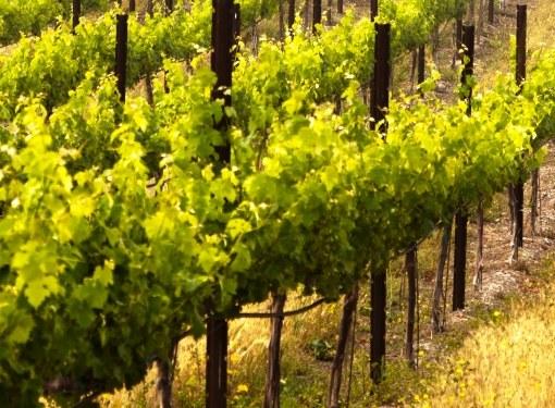 Из черенков и отводков получают саженцы винограда