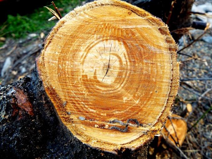 Почему нельзя рубить елки в лесу на Новый год