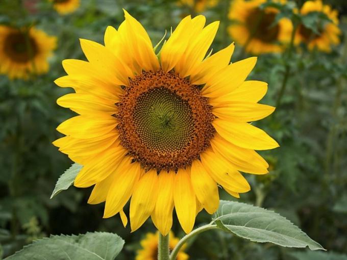 Этот цветок  любит тепло и солнечный свет