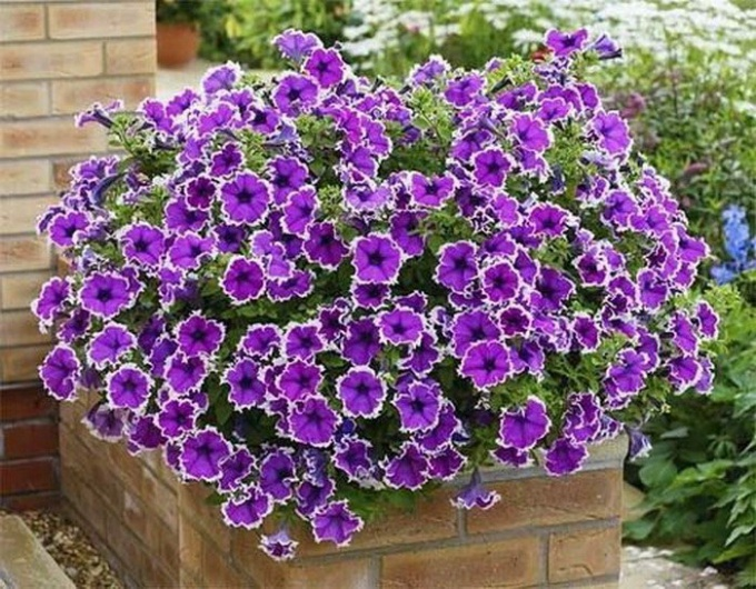 Petunia grows well in containers of small volume