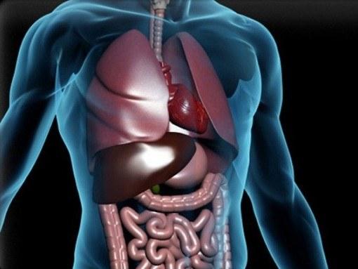 Органы брюшной полости человека