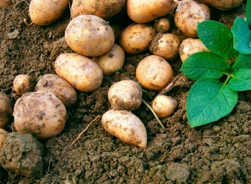 If the potatoes are not water, a good harvest can not wait