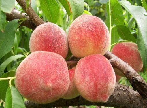 Лучшим подвоем для персика является абрикос