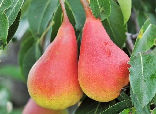 What sort of pears to plant in the suburbs