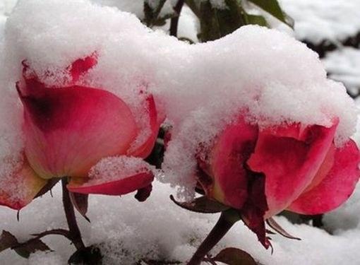 В условиях средней полосы розы зимой нуждаются в укрытии