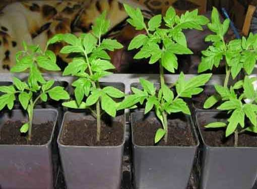 Wilting of seedlings of tomatoes can be caused by improper care or a disease