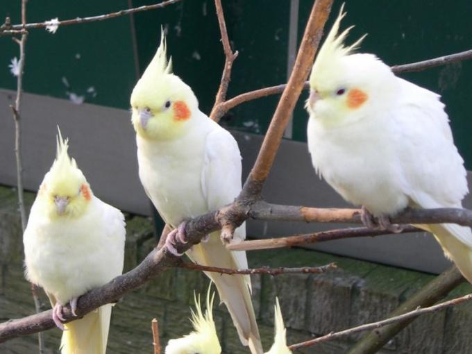Какие попугаи могут разговаривать