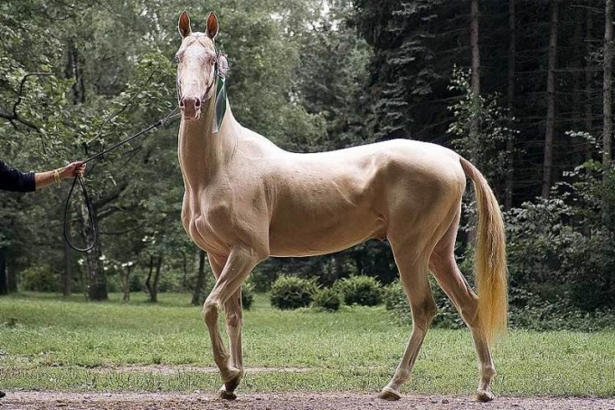 Изабелловая масть лошадей: особенности