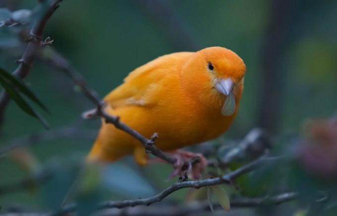 Частый объект охоты - певчая канарейка.