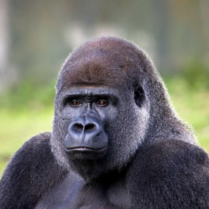 Почему у гориллы большие ноздри
